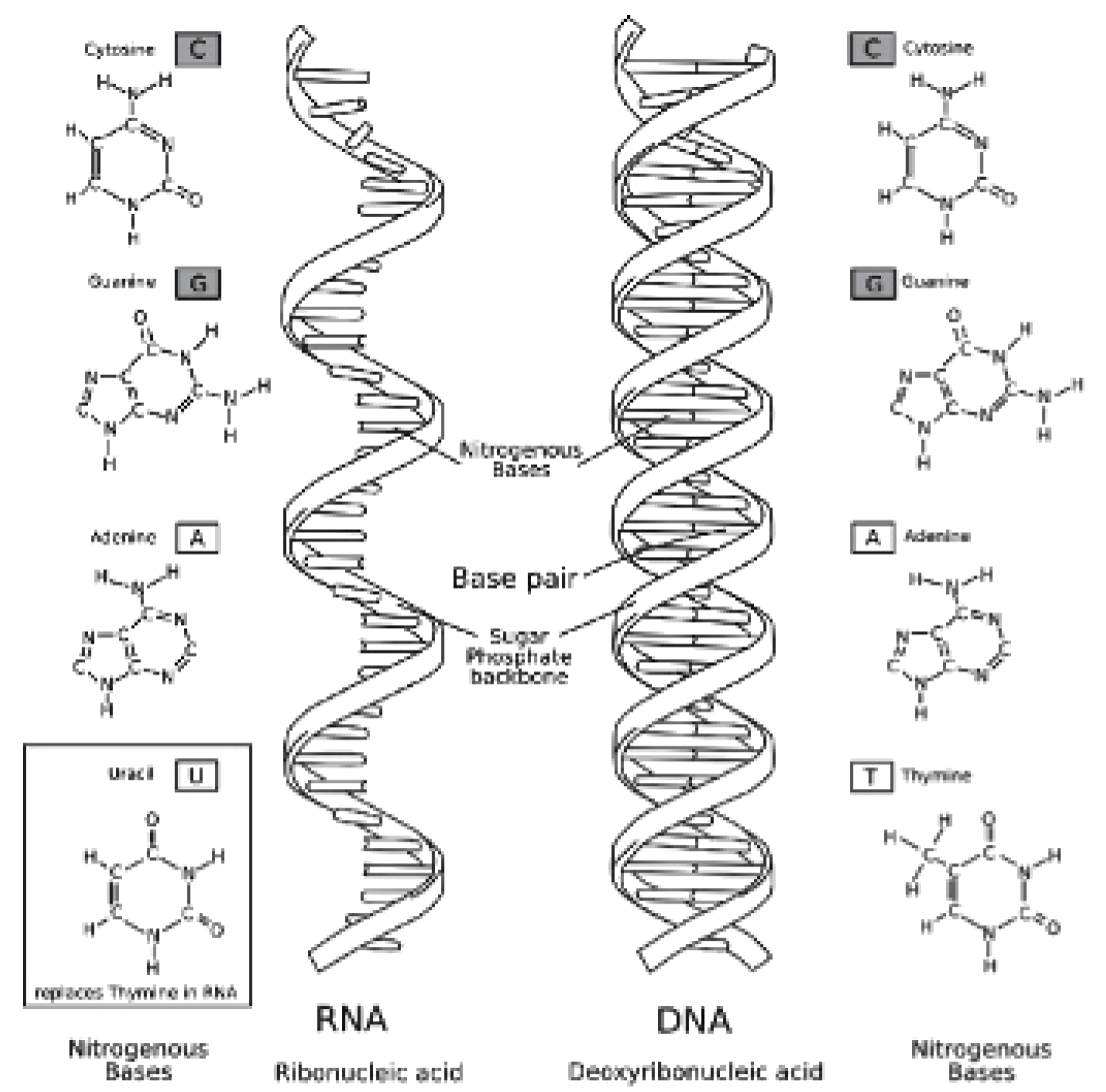 Dna And Rna Opencurriculum