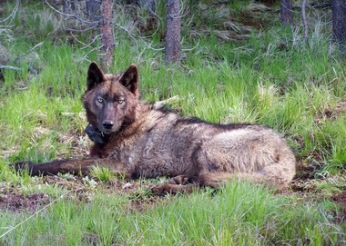 Feds kill wolf in Wallowa County on private land with cyanide trap