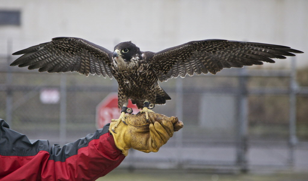 Image result for falconry