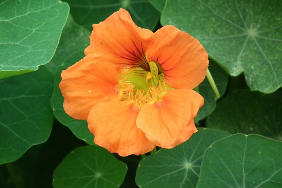 10 of the best edible flowers to grow in your yard   OregonLive com View full sizeWIKIMEDIA COMMONS