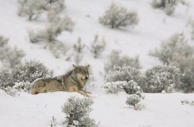 wolve.JPG