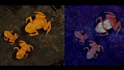 Lorsque les chercheurs ont projeté de la lumière sur les grenouilles, leurs os se sont mis à briller !