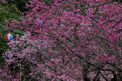 Sakura ou cerisier en fleur au Japon