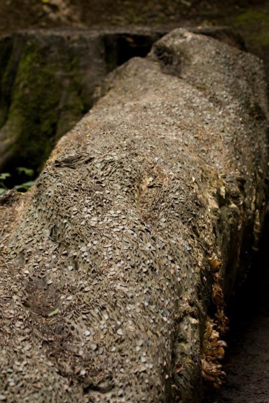L'étrange coutume des arbres à monnaie - 7