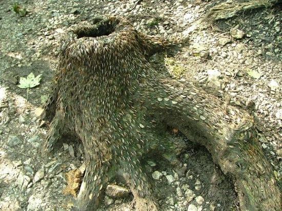 L'étrange coutume des arbres à monnaie - 3