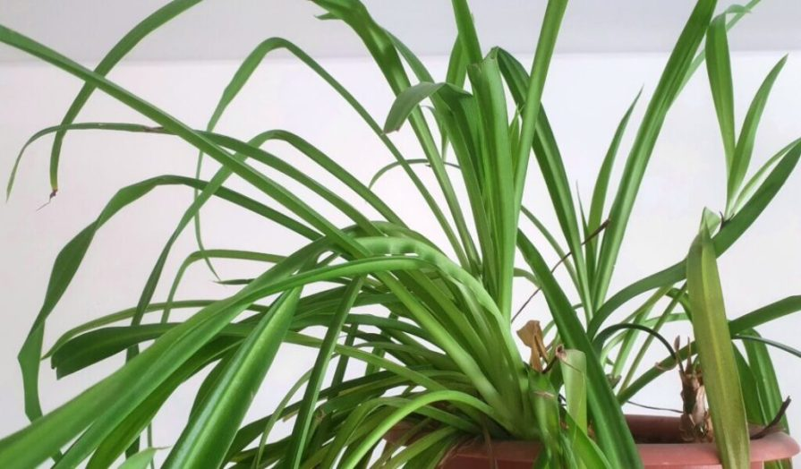 Spider plant (Chlorophytum) Care Guide