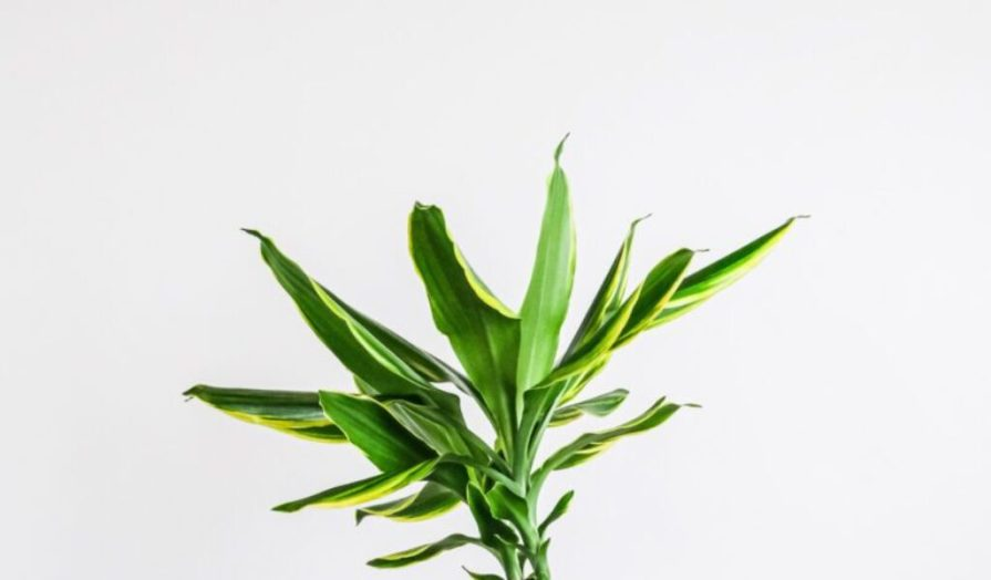 Dracaena Palm Care Guide