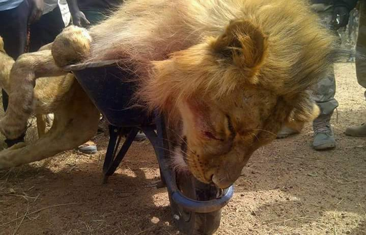FILE PHOTO: The Lion was shot and killed with live ammunition
