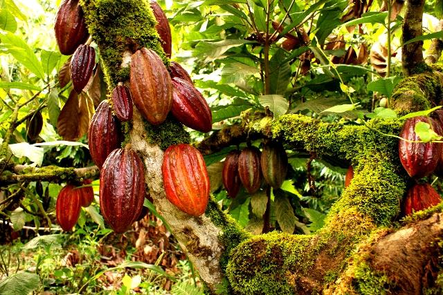 A Cocoa Plantation