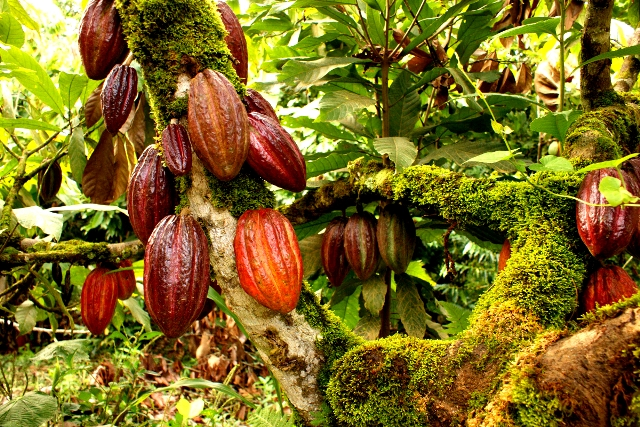 A Cocoa Plantation [PHOTO: nirp.icirnigeria.org]