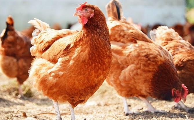 Chickens [Photo: Naijagist]