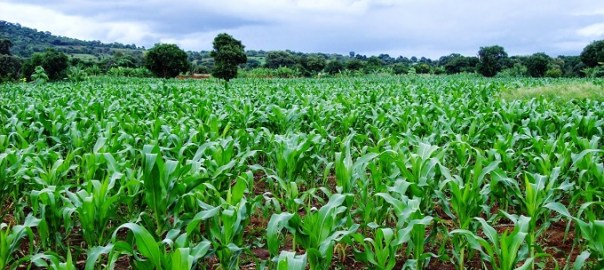 A Maize farm [Photo: HapaKenya]