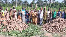 A recently harvested demo plot in Oyo state with farmers in jubilation over bumper yield from an improved weed controlled plots