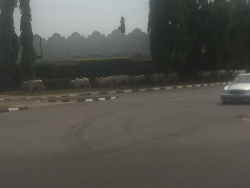 Cattle in Aso Rock
