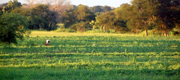 Green pastures in Navrongo - Albert's father's farmland