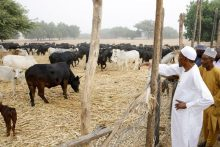 President Muhammadu Buhari supervising his farm [Photo credit: Twitter - @MBuhari]
