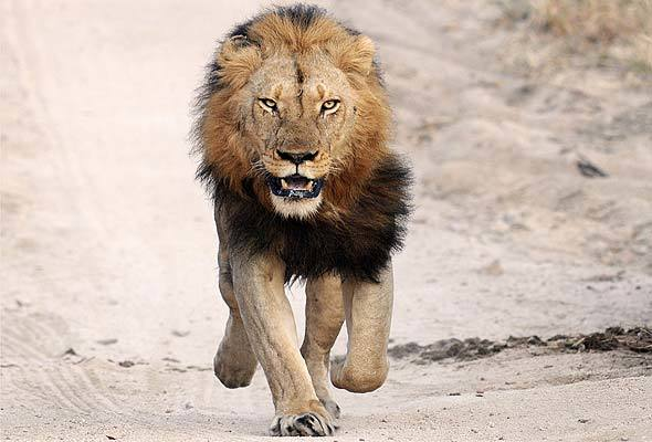 Lion used to illustrate the story. [Photo credit: PM NEWS Nigeria]