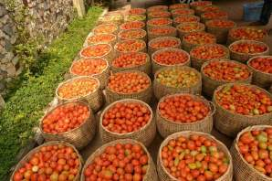 Tomatoes harvested in Akwa Ibom farms