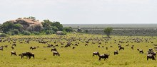 The Serengeti-Mara ecosystem is home to the famous wildebeest migration. [IMAGE: ANNA ESTES, PENN STATE]