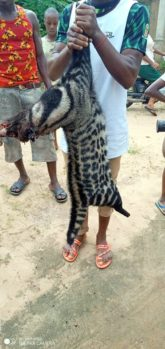 The African civet being displayed after it was killed by some young men