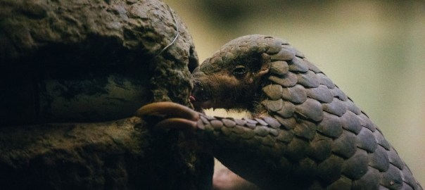 Wildlife experts estimate that nine out of 10 illegally trafficked pangolins are not detected by authorities. Credit: Tsai Yao-Cheng / The Reporter