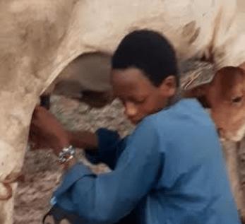 Pic: Tijani Abubakar milking a cow