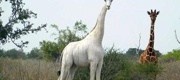 The white giraffe was discovered in 2017, the first of its kind.