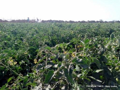 Tomatoes farm, Kwanar Gafan market in Garun Mallam LGA of Kano State (Photo Credit: Mary Izuaka)