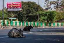 Stray cows rest on a New Delhi street during a one-day civil curfew to combat coronavirus. Cattle may have been central to a coronavirus outbreak in 1890. [PHOTO CREDIT: The Conversation]