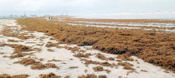 The massive seaweed from the ExxonMobil pipeline's at the riverbank of the Ibeno beach when the oil spilled.