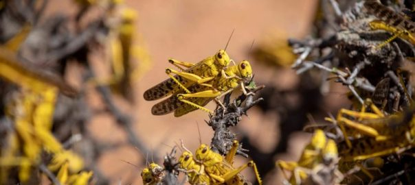 FAO locust attack horn of Africa[PHOTO CREDIT: The New Humanitarian]
