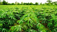 Cassava farm used to illustrate story