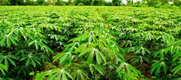 Cassava farm used to illustrate story