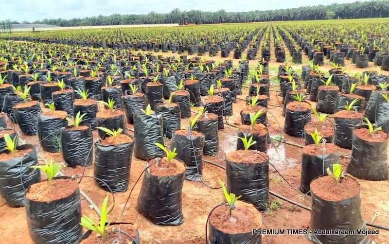 Oil palm nursery at Presco plc