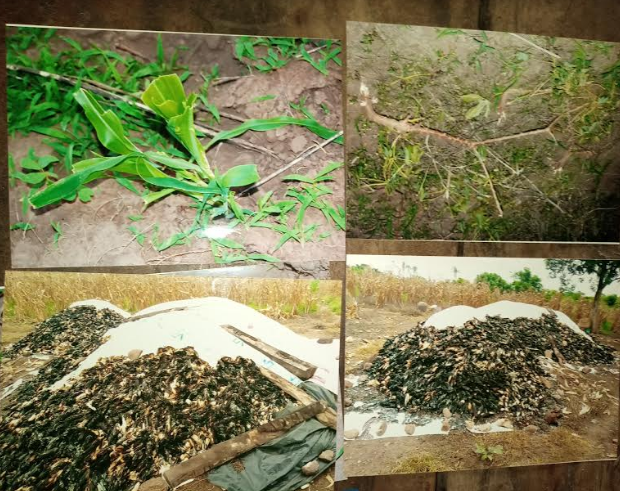 Four photographs from various times Abiodun Adegoke's heaps harvested maize were burnt and unharvested maize farm was destroyed by suspected herders working for Buji Koga. Source: Abiodun Adegoke