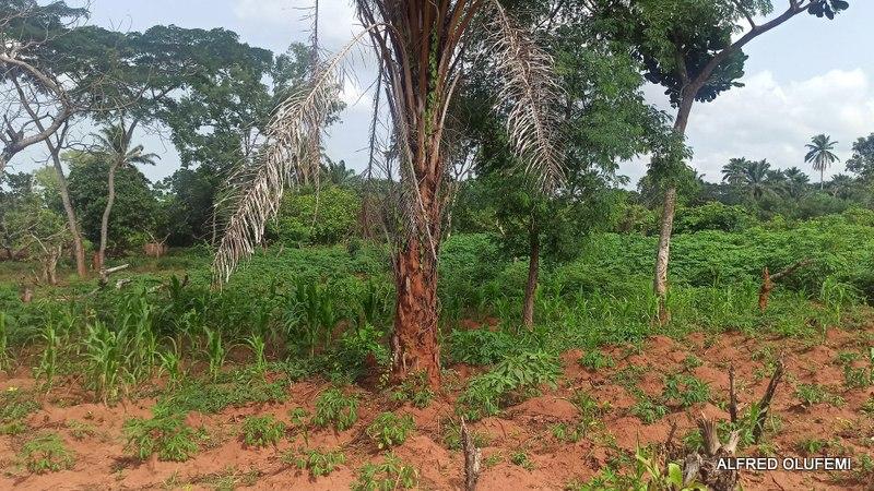 Yam plantation in Ankpa