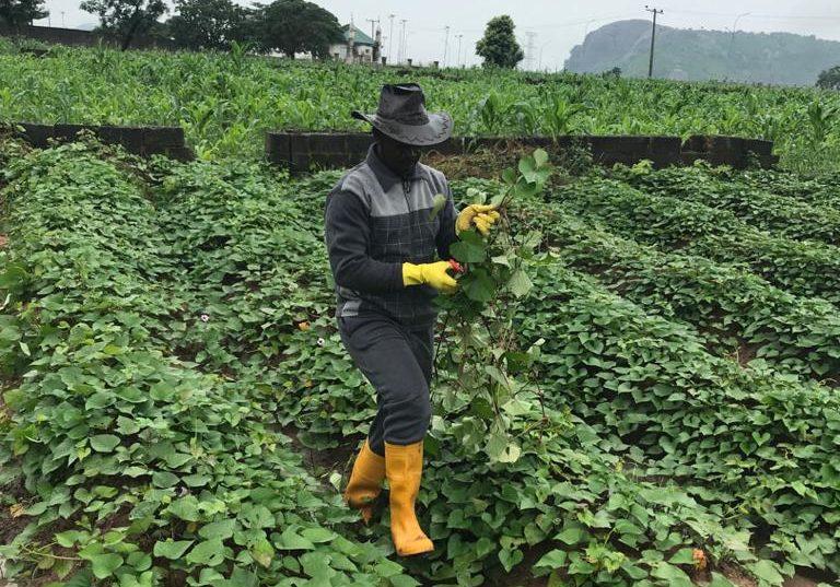 Mr Udeala in his potato farm