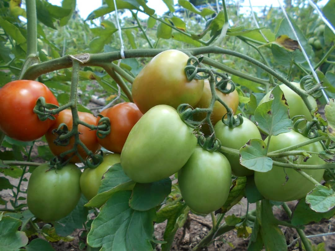 Tomatoes grown in a greenhouse farm