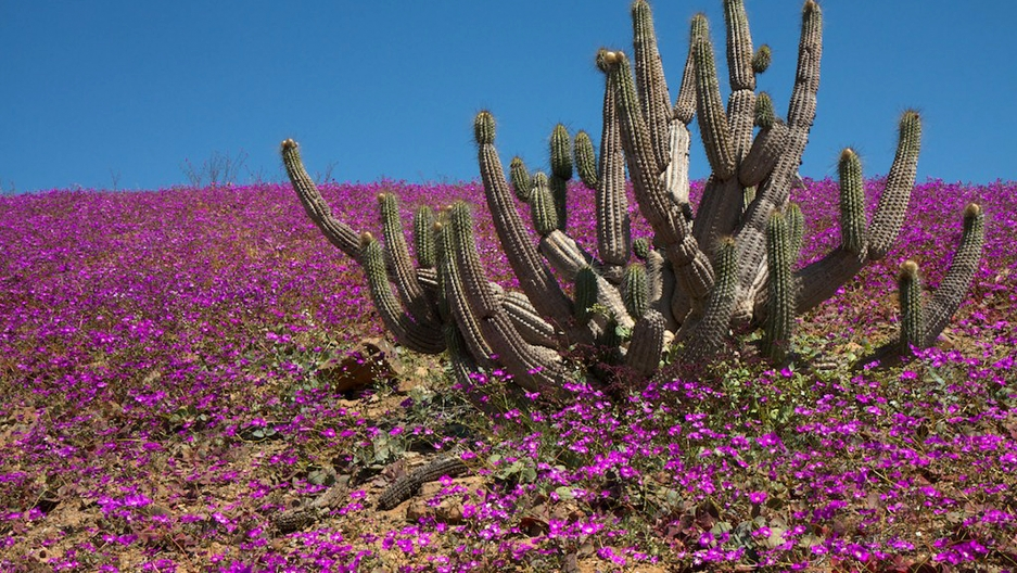 El Ni    o covers arid Atacama desert in flowers   Public Radio     El Ni    o covers arid Atacama desert in flowers