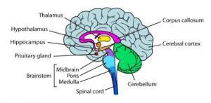 Parts Of The Brain Quiz  ProProfs Quiz