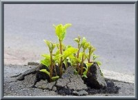 Photo : vue de près de petits plants, fleurs à venir, qui jaillissent à travers le ciment d'une route.