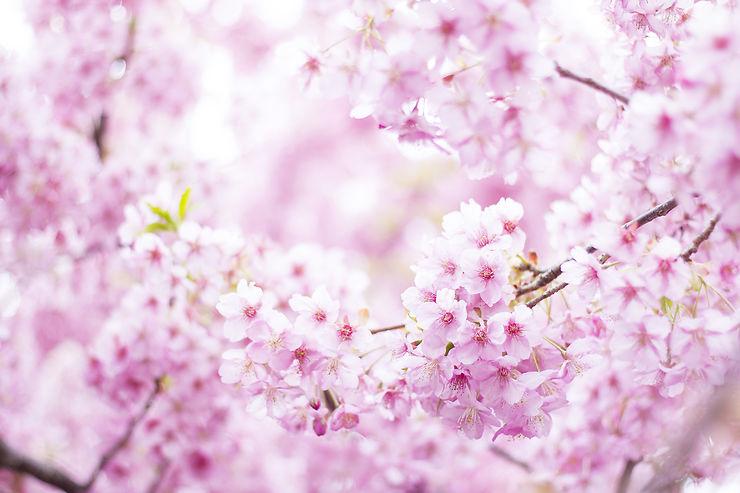 floraison des cerisiers et hanami au