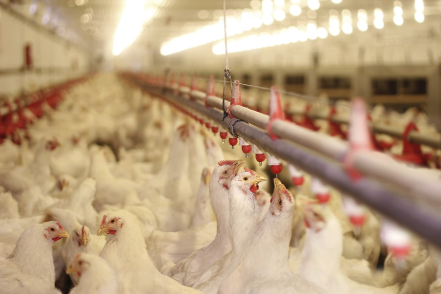 Second Tennessee flock found with bird flu