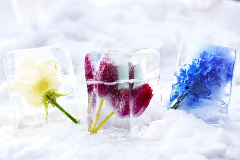frysa blommor i is