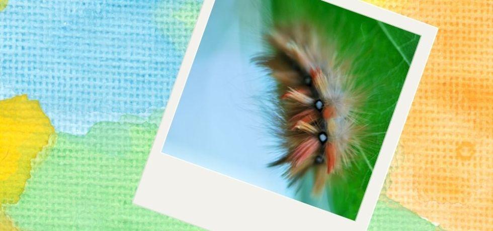 larv lönnaftonfly