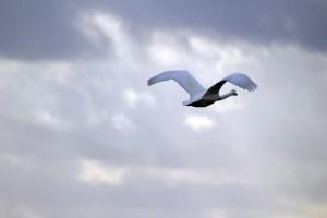 swan-1171661_1280