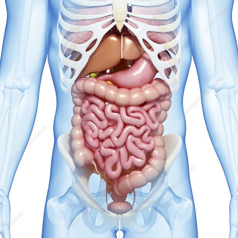 Male digestive system, artwork - Stock Image - F005/9915 ...