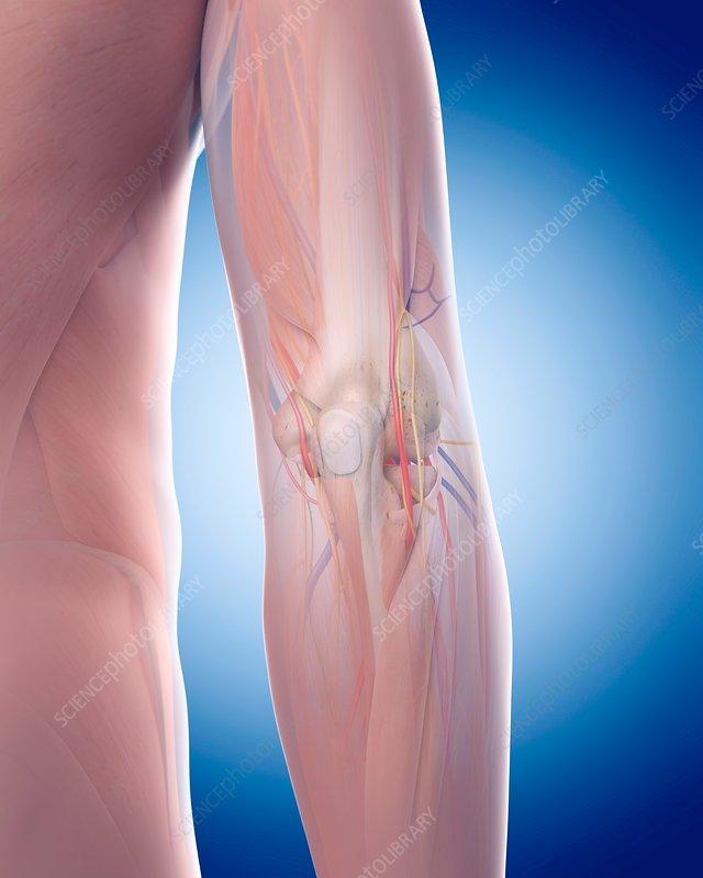 Human elbow anatomy - Stock Image - F015/6272 - Science ...