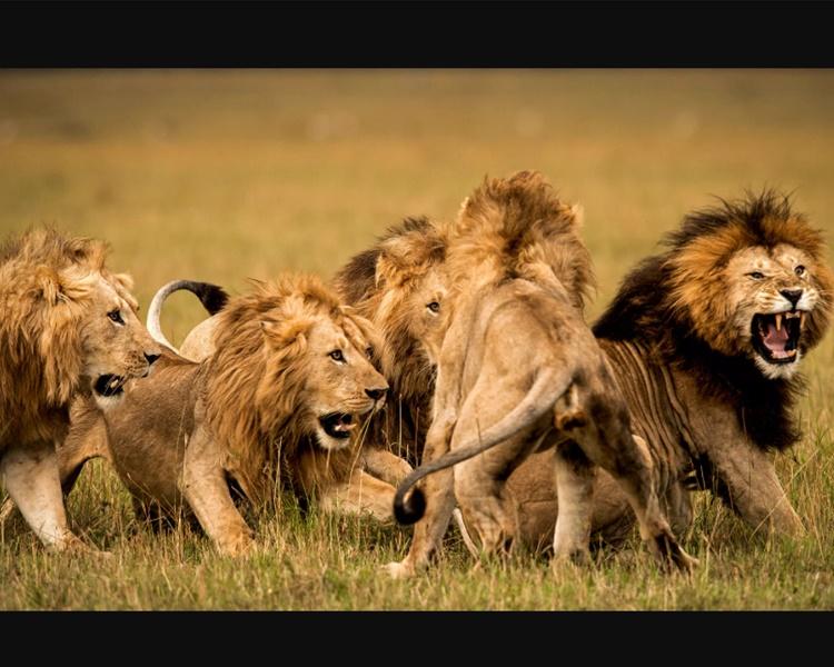 南非野生物保育區14獅子逃脫 呼籲居民防範