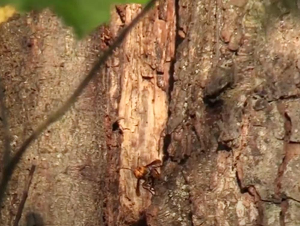 華盛頓州美加邊境發現首個「殺人蜂巢」 科學家料有更多同類蜂巢 | 多倫多 | 加拿大中文新聞網 - 加拿大星島 ...